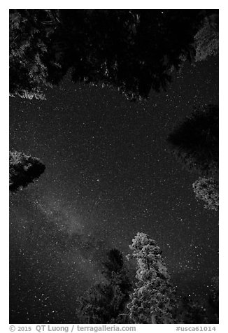 Stary sky and pine treetops. California, USA (black and white)