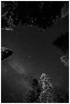 Stary sky and pine treetops. California, USA ( black and white)