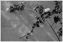 Roses in memorial garden, Cesar Chavez National Monument, Keene. California, USA ( black and white)