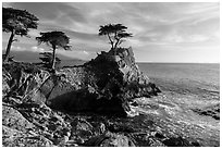 Monterey cypress on granite cliff. Pebble Beach, California, USA ( black and white)
