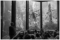 Scuba diver feeds fish in front of audience. Monterey, California, USA ( black and white)