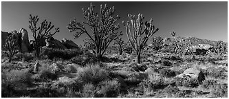 Desert landscape with Joshua trees, rocks, and distant mountains. Mojave National Preserve, California, USA (Panoramic black and white)