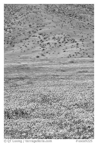 Hillside covered with California Poppies and Desert Marygold. Antelope Valley, California, USA (black and white)