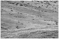 Hillside covered with California Poppies and Desert Marygold. Antelope Valley, California, USA ( black and white)