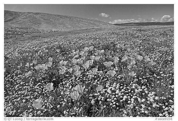 California Poppies and desert Marygold, hills W of the Preserve. Antelope Valley, California, USA (black and white)