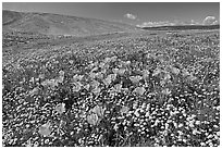 California Poppies and desert Marygold, hills W of the Preserve. Antelope Valley, California, USA ( black and white)