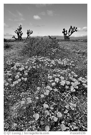 California Poppies and Joshua Trees. Antelope Valley, California, USA (black and white)