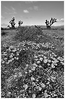 California Poppies and Joshua Trees. Antelope Valley, California, USA ( black and white)