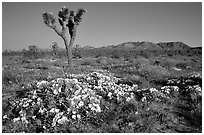 Daturas and Joshua Trees. Antelope Valley, California, USA (black and white)
