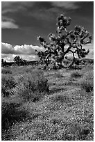 Yellow desert Marygold and Joshua Tree. Antelope Valley, California, USA ( black and white)