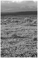 Meadow covered with poppies, sage bushes, and Tehachapi Mountains at sunset. Antelope Valley, California, USA ( black and white)