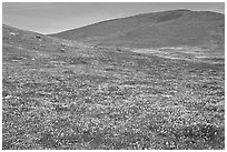 Hills W of the Preserve, covered with multicolored flowers. Antelope Valley, California, USA ( black and white)