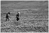 Children playing in a field of Poppies. Antelope Valley, California, USA ( black and white)