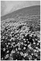 California Poppies and hill. Antelope Valley, California, USA ( black and white)