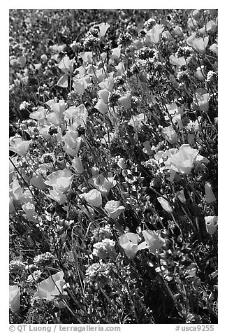 Close up of backlit poppies, lupine, and purple flowers. Antelope Valley, California, USA (black and white)