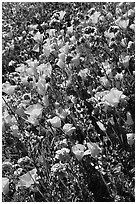 Close up of backlit poppies, lupine, and purple flowers. Antelope Valley, California, USA ( black and white)