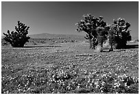 Joshua trees and California Poppies. Antelope Valley, California, USA (black and white)