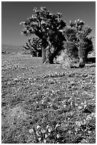 Joshua trees and California Poppies. Antelope Valley, California, USA ( black and white)