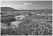 Wildflowers growing out of mud flats. Antelope Valley, California, USA ( black and white)