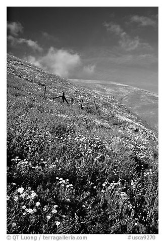Carpet of coreopsis and lupine, Gorman Hills. California, USA (black and white)
