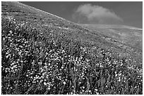Carpet of yellow and purple flowers, Gorman Hills. California, USA ( black and white)