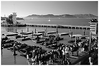 Visitors watch Sea Lions at Pier 39, late afternoon. San Francisco, California, USA (black and white)