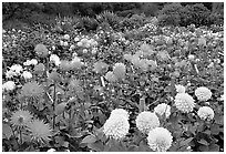 Multicolored dalhia flowers, Golden Gate Park. San Francisco, California, USA (black and white)