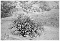 Oak trees and verdant hills in early spring, Sunol Regional Park. California, USA ( black and white)