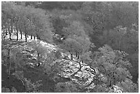 Oak trees on hillside curve, early spring, Joseph Grant County Park. San Jose, California, USA (black and white)