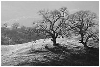 Dendritic branches of Oak trees on hillside curve, early spring, Joseph Grant County Park. San Jose, California, USA ( black and white)