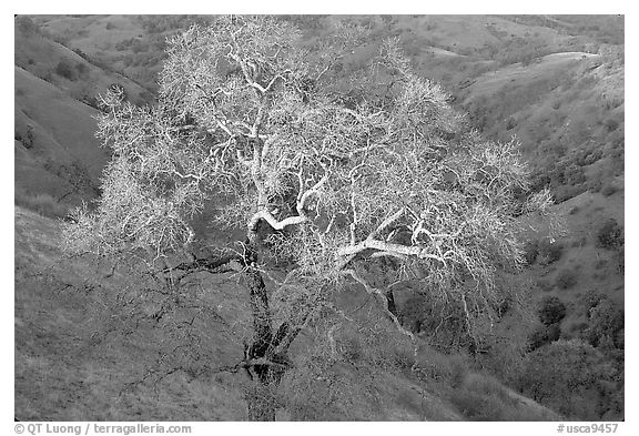 Oak tree with mistletoe at sunset, Joseph Grant County Park. San Jose, California, USA (black and white)