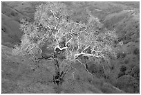 Oak tree with mistletoe at sunset, Joseph Grant County Park. San Jose, California, USA ( black and white)