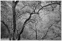Oak Trees, Sunol Regional Park. California, USA (black and white)
