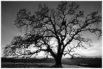 Old Oak tree profiled at sunset, Joseph Grant County Park. San Jose, California, USA (black and white)