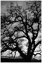 Old Oak tree silhouette at sunset, Joseph Grant County Park. San Jose, California, USA (black and white)