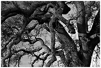 Branches of Old Oak tree  at sunset, Joseph Grant County Park. San Jose, California, USA ( black and white)