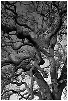 Branches of Old Oak tree  at sunset, Joseph Grant County Park. San Jose, California, USA (black and white)