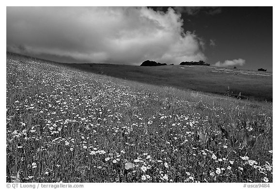 Wildflowers in the spring, Russian Ridge Open Space Preserve. Palo Alto,  California, USA (black and white)