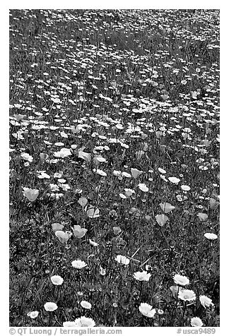 Meadows with wildflowers in the spring, Russian Ridge Open Space Preserve. Palo Alto,  California, USA (black and white)