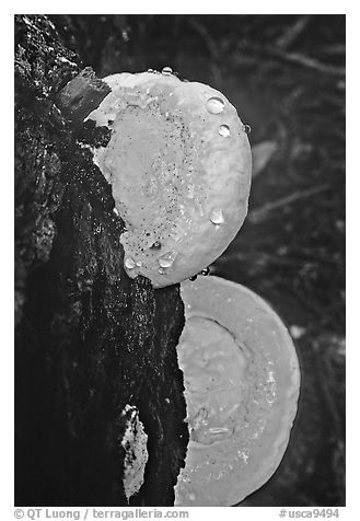 Mushrooms. Big Basin Redwoods State Park,  California, USA (black and white)