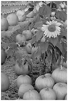 Sunflower and pumpkins. San Jose, California, USA (black and white)