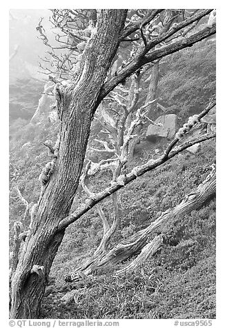 Trees on fog, Allan Memorial Grove. Point Lobos State Preserve, California, USA (black and white)