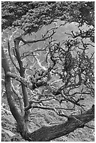 Trees covered with Carotene, Allan Memorial Grove. Point Lobos State Preserve, California, USA ( black and white)