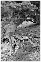 Roots of Veteran cypress tree. Point Lobos State Preserve, California, USA ( black and white)