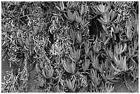 Ice plant. Carmel-by-the-Sea, California, USA ( black and white)