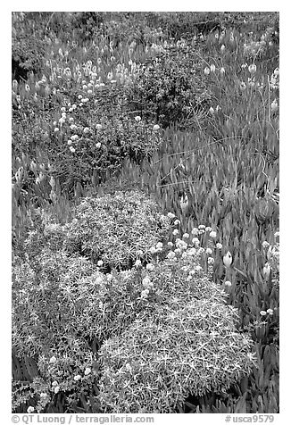 Flowers and ice plant. Carmel-by-the-Sea, California, USA (black and white)