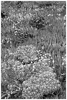 Flowers and ice plant. Carmel-by-the-Sea, California, USA ( black and white)