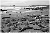 Elephant seals on a beach near San Simeon. California, USA (black and white)