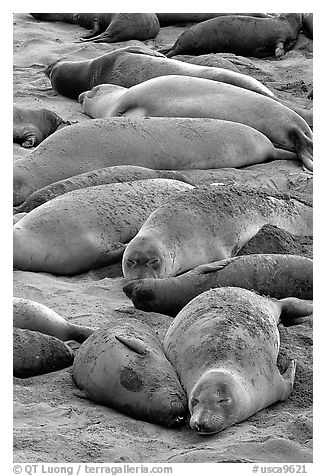 Elephant seals colony, Piedras Blancas. California, USA (black and white)