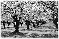 Orchards trees in blossom, Central Valley. California, USA (black and white)